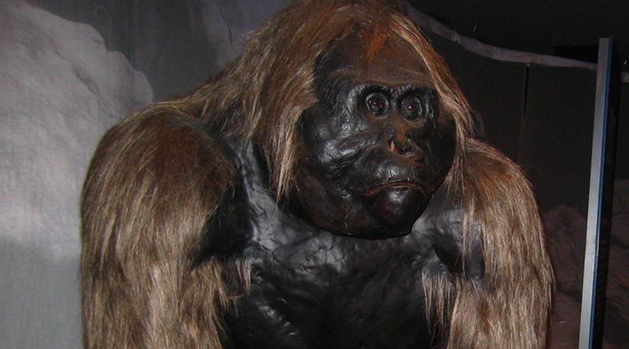 Гигантопитек Пойди эволюция чуть другим путем, и в таких зверей могли превратиться мы сами. Гигантопитеки вырастали в трехметровых монстров, весом под половину тонны. Ареалом обитания этих обезьян были джунгли Китая и Вьетнама — возможно, немногочисленные представители вида сохранились, это бы вполне объяснило легенды о йети.