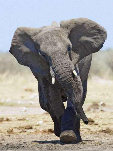 Слон Людей за год: 350 Слонов принято изображать эдакими добродушными увальнями, охотно позволяющими человеку чесать за ушами. Но статистика неумолима к нашим фантазиям: в среднем под ногами слонов гибнет более 300 человек в год.