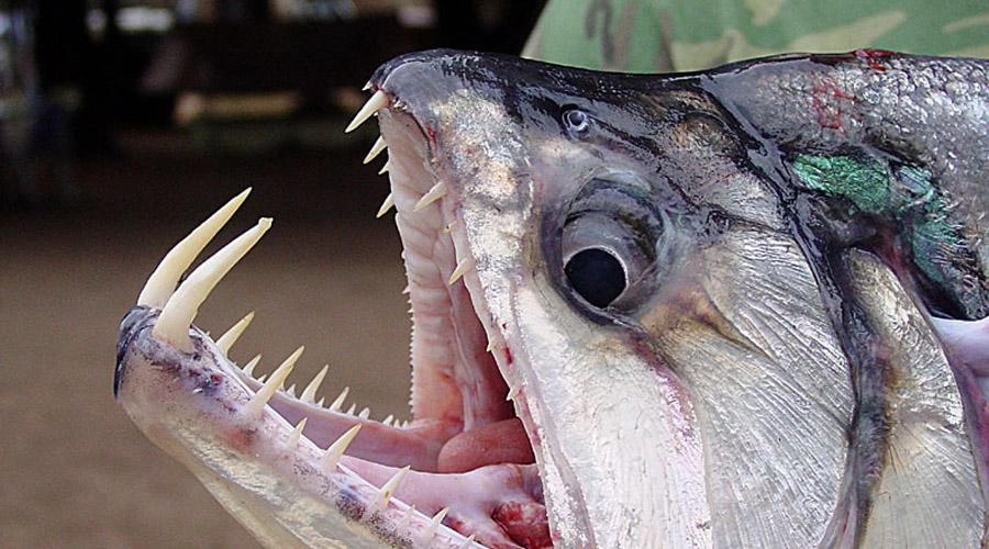 Скумбревидный гидролик Огромные клыки нижней челюсти снискали гидроликам славу вампиров. Однако, крови эта рыба не пьет, а просто заглатывает свою жертву целиком, насадив ее перед этим на свои милые зубки. Для человека вид не опасен, но выглядит действительно мрачно.