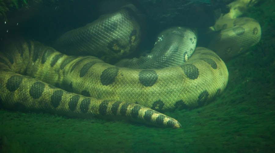 Анаконда Встреча человека с анакондой будет последней. Девятиметровая змея прекрасно плавает и даже способна нырять. У взрослой анаконды врагов в природе практически нет, разве что она сойдется на узкой тропе с черным кайманом, а такие случаи действительно бывали.