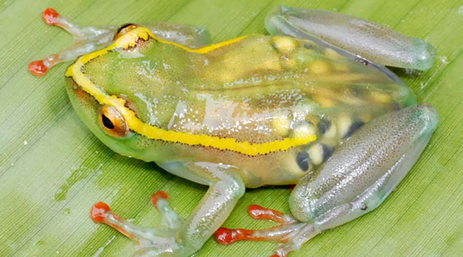 Прозрачная лягушка Вид Hyperolius Leucotaenius относится к прыгучему семейству гиперолиидов. Это эндемик республики Конго, который считался полностью вымершим до недавнего времени.