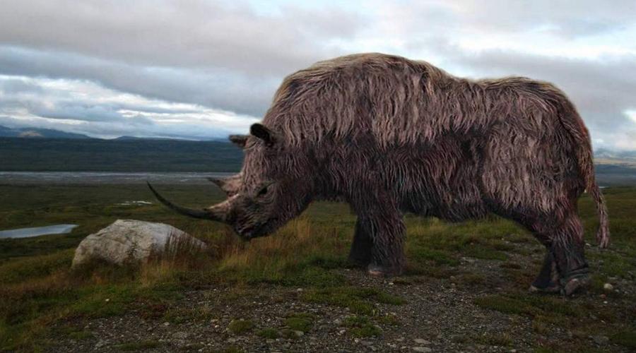 Шерстистый носорог Современные носороги живут припеваючи под ярким африканским солнцем, а вот их далекие предки предпочитали гораздо более прохладный климат. Арктическая экспедиция биологов из Нантакета привезла в родной университет останки ДНК шерстистого носорога. Вопрос восстановления целого вида теперь упирается только в финансирование проекта.