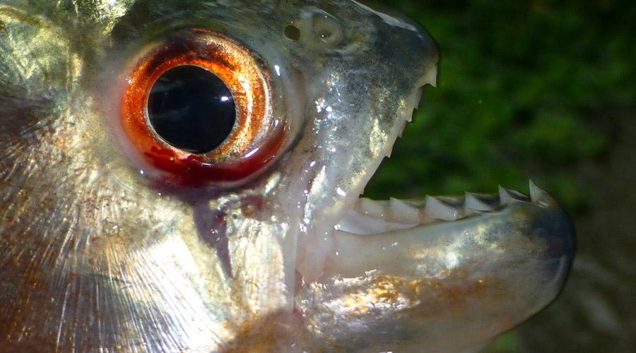 Обыкновенная пиранья Да, самая что ни на есть обыкновенная, так она по-латыни и зовется, Pygocentrus nattereri. Репутация опасного для человека хищника рыбой полностью заслужена, да и большая часть легенд о ней (вроде способности чуять кровь) является правдой. Пираньи плавают огромными стаями и нападают все вместе.