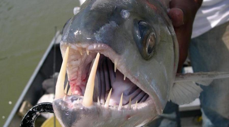 Рыба-вампир, водится в бассейне Амазонки. Для многих первая встреча с ней также оказалась и последней