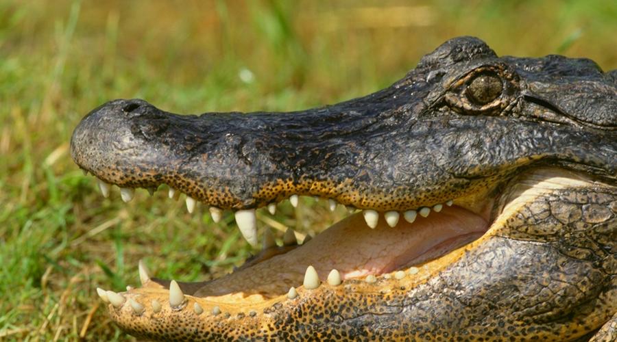 Побег от крокодила зигзагом Встреча с недружелюбной рептилией вполне может оказаться вообще последней встречей в вашей жизни. По какой-то причине людям рассказывают, что на земле от крокодилов нужно убегать зигзагами: короткие лапы якобы не дают им быстро поворачивать. Это полная чушь: постарайтесь просто набрать наибольшую скорость по прямой, поскольку рептилии бегают хоть и быстро, но очень недолго.