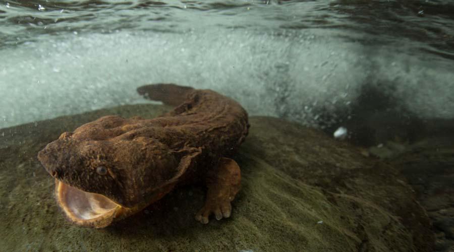 Аллеганский скрытожаберник Язык можно сломать. Это самая большая в мире саламандра, появившаяся на планете еще 170 миллионов лет назад.