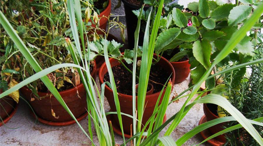 Цитронелла Экстракт из этого растения используется во многих средствах против комаров и москитов. Идеально будет выращивать цитронеллу в небольших клумбах прямо на даче: приятный цитрусовый аромат не будет мешать вашему отдыху.