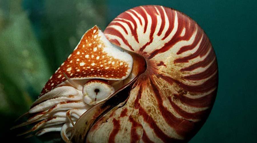 Наутилус Этот моллюск появился 500 миллионов лет назад в эпоху палеозоя. Тут эволюция решила, что уже сделала все возможное: в наши дни наутилус выглядит точно так же, да и образ жизни ведет такой же, как и его далекие предки.
