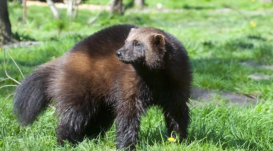Росомаха Представьте себе животное размером с небольшую собаку, морда которого напоминает кошачью, тело принадлежит какой-то неуклюжей лисе, а хвост взялся вообще непонятно откуда. Забавный зверек отличается непомерной злобой — росомах предпочитают обходить стороной даже медведи.