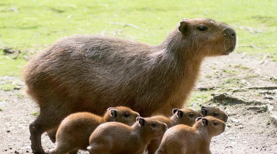 Капибара Вопреки всеобщему мнению, капибара вовсе не такой уж редкий зверек. В Южной Америке грызун встречается на берегах многих водоемов. Более того, капибару часто берут в качестве домашнего питомца — и даже не представляют, что завели животное с родословной в 9 миллионов лет.
