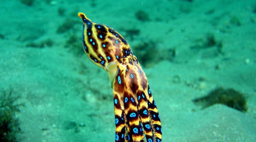 Синекольчатый осьминог Синекольчатого осьминога можно встретить в прибрежных водах Тихого океана. Жители Австралии знакомы с ним не понаслышке и уже умеют обходить яркого убийцу стороной. Дело в том, что этот осьминог считается одним из самых ядовитых созданий во всем мире, антидота попросту не существует в природе.