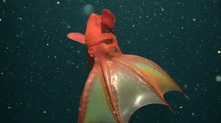 Адский вампир Совершенно не ясно, отчего ученые решили дать этому безобидному родственнику кальмара такое жестокое прозвище. Адский вампир вырастает всего в 15 сантиметров длиной, а питается планктоном.
