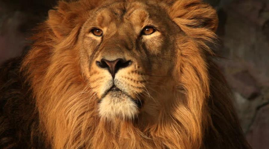 Не смотрите льву в глаза Гуляли по саванне и вдруг наткнулись на льва? Представьте, что это обычный гопник у подъезда, только вместо ножа и кулаков у него клыки и когти. Сразу лев нападать не будет: он проверит добычу на пригодность, прыгнет пару раз, пытаясь испугать. В этом случае постарайтесь выглядеть грозно, создавая как можно больше шума, смотрите ему в глаза. Шансов выжить реально больше, чем при бесполезной попытке взять и убежать.