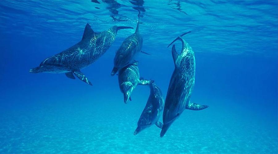 Дельфины спасают людей Дельфины — дикие плотоядные создания. Они плавают рядом с катерами не из-за избытка дружелюбия: просто используют механическую энергию, сохраняя свою собственную. Решили поплавать с дельфинами? Не удивляйтесь тому, что они в свою очередь решили вас немного покусать. В конце концов, дельфины часто уничтожают собственное потомство, а стаи молодняка загоняют самок на отмели с известными целями.