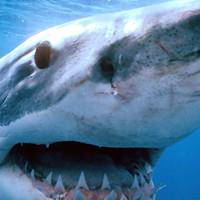 Зубастая ложь: 5 главных мифов об акулах