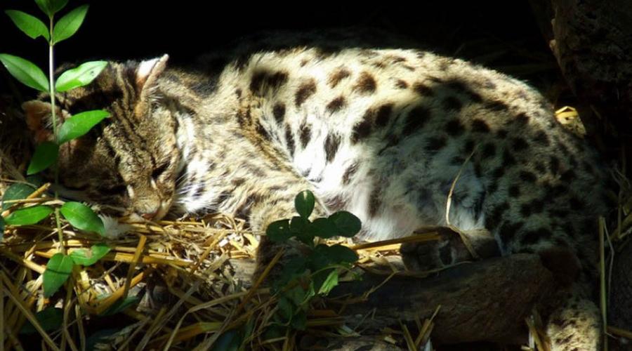Чилийская кошка Ночной охотник, обитающий в глубине лесов Южной Америки. Кодкод занесен в Красную книгу: на Земле осталось всего 10 тысяч особей.