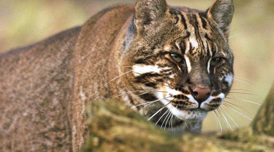 Кошка Темминка Необычного представителя кошачьих можно повстречать в предгорьях Гималаев и на Суматре. Выглядит кошка Темминка грозно, но в реальности животное очень пугливо и старается обходить людей стороной.