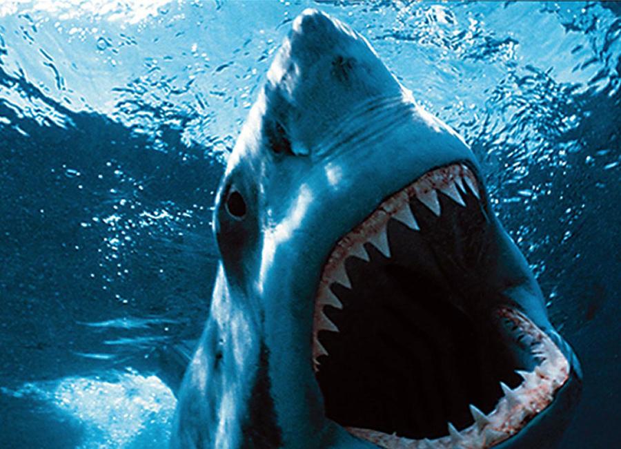 Все акулы огромные Пожалуй, самый популярный образ акул связан с большой белой акулой. Этот архетип тоже растиражировали блокбастеры и фильмы ужасов: огромный хищник, гигантские челюсти, острые зубы, которыми животное перемалывает свою добычу. На самом деле в мире существует около 500 видов акул, причем самые большие — китовые, достигающие 14 метров в длину и весящие под двадцать тон — не представляют никакой опасности для человека, поскольку питаются исключительно планктоном. Она даже дает дайверам себя погладить — и не обращает на них никакого внимания. Но крупные виды — это всего лишь 10% от общего числа хищников. В основном акулы небольшие и даже мелкие: шестиметровые лисьи, пятиметровые тигровые, трехметровые голубые и мако, полутораметровые черноперые и даже двадцатисантиметровые бразильские светящиеся. Кстати, те самые большие белые акулы — не такие уж большие: средний размер особей составляет 4,5 метра.