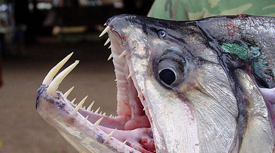 Рыба-вампир Вполне возможно, что легенда о вампирах зародилась вовсе не в Трансильвании, а в дельте Амазонки, где и водится эта вот чудесная клыкастая рыбка.