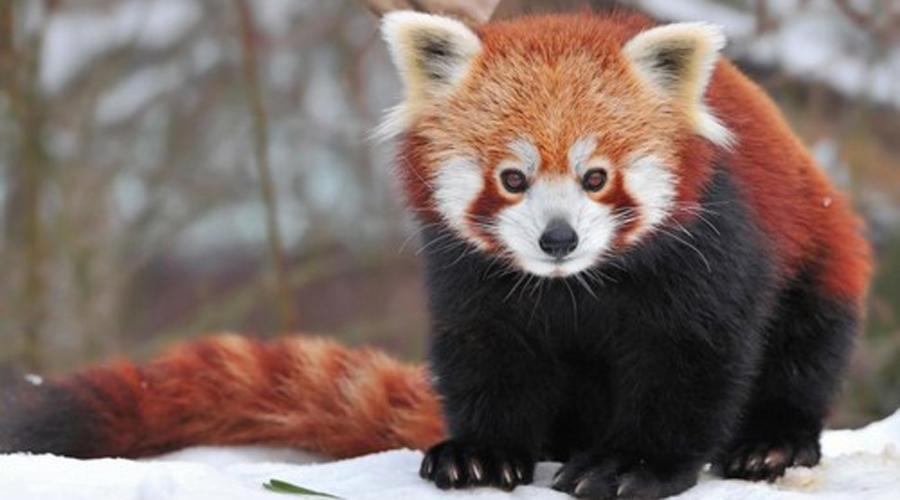 Красные панды Генетически красные панды почти не связаны с обычными пандами. К сожалению, вид постепенно вымирает и остановить этот процесс уже невозможно.