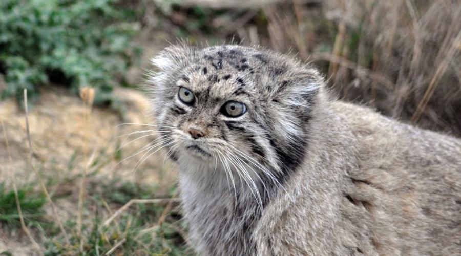 Манул Мечта всех кошковладельцев планеты. Размеры манула сравнимы с размерами обычной домашней кошки. Этот охотник подстерегает добычу в засаде, так как просто не умеет бегать быстро.