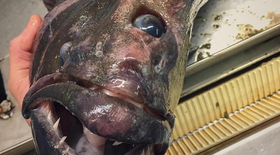 Рыба Федорцова Роман Федорцов — моряк из Мурманска, который работает на траулере и ведет один из самых странных твиттеров в мире. В сети его команды частенько попадают невероятные, невиданные нигде твари. Вот это, к примеру, странная рыба-мутант вообще не поддается идентификации.