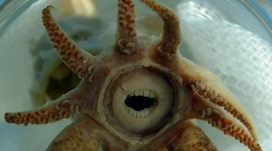 Глубоководный кальмар А вот и еще одно создание, которое вполне могло бы стать прототипом монстра из фильма ужасов. Все дело в том, что страшнее всего воспринимаются нами антропоидные черты, как, например, зубки вот у этого глубоководного кальмара.