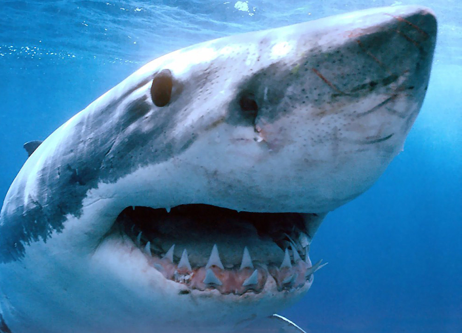 Акулы — глупые создания Акулы появились на Земле вот уже 450 миллионов лет — их считают одними из самых древних созданий на планете. Они пережили почти 98% биологических видов, когда-либо населявших мир, и за это время сумели развить у себя заметные интеллектуальные способности. Акулы вполне обучаемы, что подтверждают десятки экспериментов и исследований, они умеют различать оптические иллюзии и реальные объекты, выполнять разные трюки и воспроизводить их даже спустя год без тренировок. Им знакомы несколько стратегий охоты, причем для разной добычи акулы выбирают наиболее подходящий метод — при этом атаке предшествует пристальное наблюдение за жертвой, анализ ее внешнего вида, движений и звуков, которые она издает. Никогда акула не нападет на огромного морского слона так же, как нападает на морского котика — просто потому, что не хочет пострадать. Кроме того, у акул есть индивидуальный набор черт — то есть характер: некоторые их них игривые, некоторые смелые, другие робкие и нерешительные, третьи предпочитают общества сородичей, а кто-то всю жизнь проводит в одиночестве.