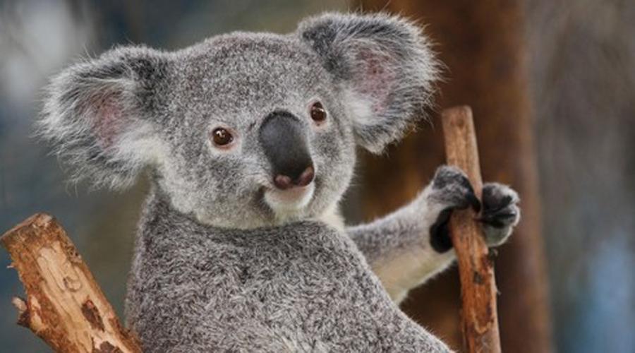 Коалы Квинтэссенция милоты. Крохотные коалы с большой головой с круглыми, пушистыми ушами и большим носом сохраняют на мордочке выражение невинности даже в момент шалостей.