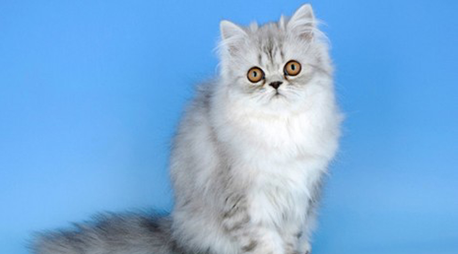 Персидские кошки Надо признать, что симпатичны абсолютно все породы кошек. Мы решили остановиться на персидских просто потому, что нам они нравятся больше прочих!
