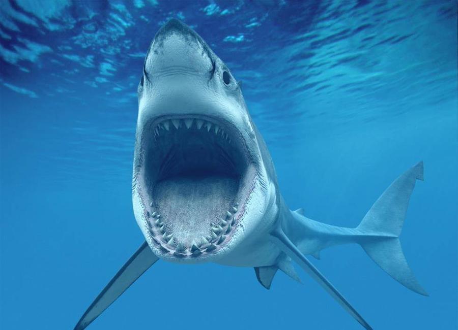 Акулы часто и намеренно нападают на людей Этот стереотип во многом сформировался стараниями голливудских фильмов и СМИ, которые преподносят акул беспощадными, вечно голодными, совершенными машинами для убийств. В действительности ситуация выглядит с точностью до наоборот: согласно мировой статистике, ежегодно от атак акул погибает в среднем 10 человек, в то время как люди за такой же период истребляют 100 миллионов этих хищников. Для сравнения, от укусов москитов каждый год умирает около 750 тысяч человек, от ударов молнией — около 6000, не говорят уже о сотнях тех, кто становится жертвой упавшей сосульки или кокоса, а также неудачно вылетевшей пробки из-под шампанского. Акулы же в рейтинге смертельных опасностей для человека находятся практически в самом низу — ниже собак, слонов, змей, муравьев и даже улиток. Кроме того, большинство таких нападений — спровоцированные, поскольку сами акулы не считают человека достойной добычей и приоритетным источником питания.