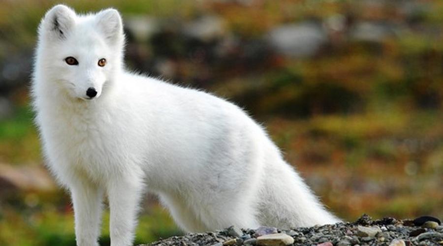 Полярная лисица Полярная лисица обитает в экстремально холодной окружающей среде. Более округлая, чем у лесных собратьев форма тела нужна для того, чтобы как можно лучше сохранять тепло.