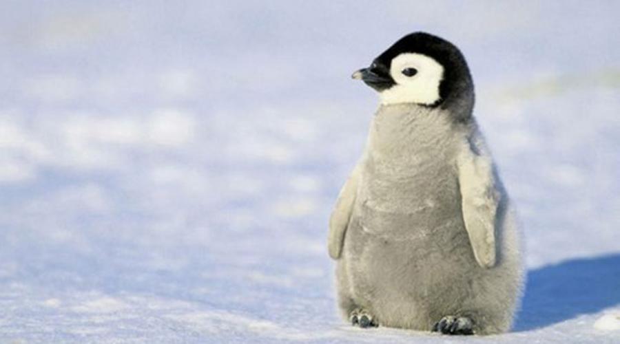 Пингвинята Что может быть милее пингвина? Птенец пингвина! Они напоминают миниатюрную версию взрослых птиц и покемонов одновременно.