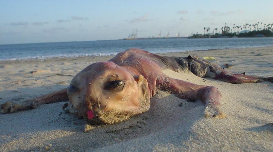 Монстр с Монте-Айленд Первый скелет необычного создания вынесло на пляж Монте-Айленда в ноябре 1953 года. Тогда местных подняли на смех, ведь никто не догадался сделать снимков. Но осенью 2016 года на берег выбросило аналогичные останки странного существа, которое теперь исследуют морские биологи.