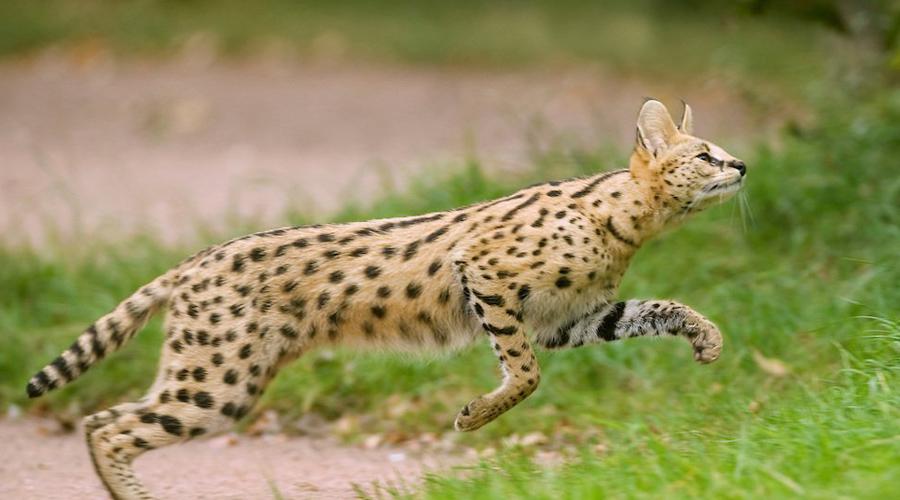 Сервал Африканская кошка, способная развивать невероятную скорость на охоте. Сервалы могут спариваться с домашними видами кошек, гибридные же породы очень ценятся коллекционерами.