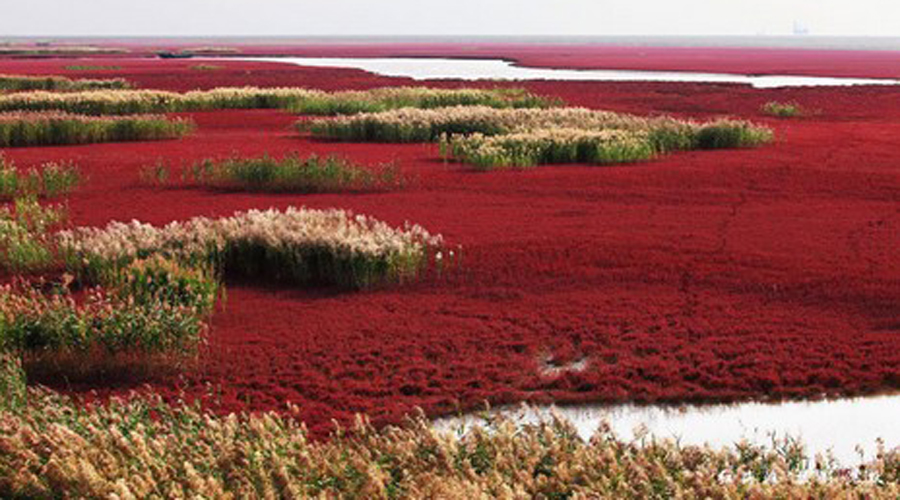 Красный Пляж Китай Невероятный красный пляж в Паньцзине окружен водорослями суэда. Это один из крупнейших болотных тростниковых заповедников в Азии.