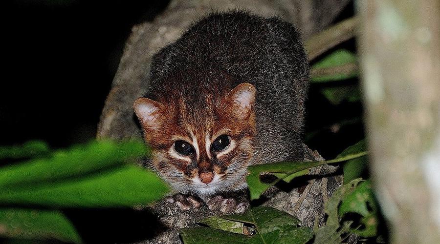 Суматранская кошка Ученые полагают, что суматранская кошка исчезнет с лица Земли в ближайшее десятилетие. Редкое и очень необычное животное обитает на территории Южной Азии.
