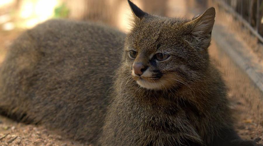 Пампасская кошка Пампасская кошка также не любит бег и живет на территории Южной Америки. Редкое и боязливое создание, которое не переносит неволи.