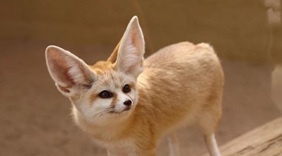Феньки Эти огромные уши нужны милым зверькам не только для слуха. Они служат своеобразным предохранителем от перегрева, помогая феньку сохранить крохи прохлады в пустынной среде. Лисички очень игривы и дружелюбны.