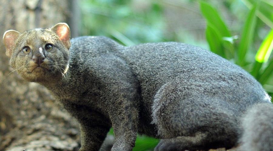 Ягуарунди Длинное тело и тонкий хвост ягуарунди долгое время сбивали биологов с толку. Впоследствии выяснилось, что века тому назад перуанские индейцы успешно приручали этих необычных кошек и держали их в домах для защиты от крыс.