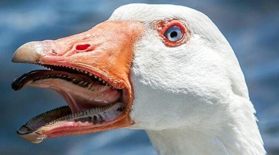 Гусь Боитесь акул? Глупости все это. Присмотритесь к самым обычным гусям: у них во рту такие зубы, что любая касатка с зависти умрет.