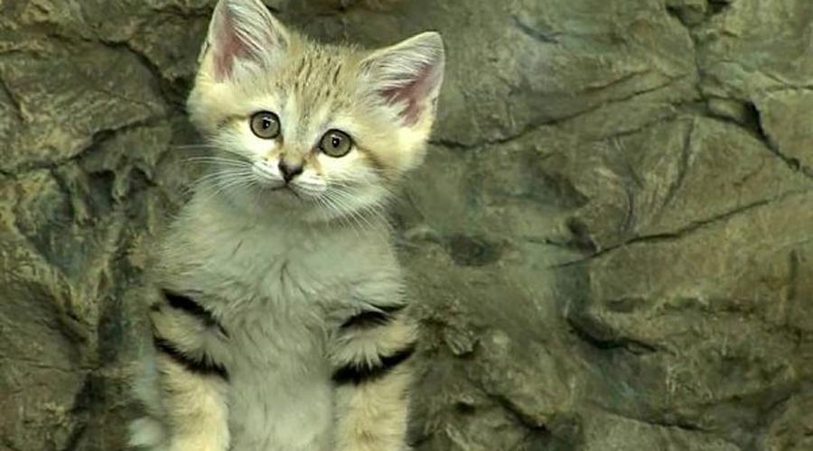 Барханный кот Это самый маленький дикий котик во всем мире. Первооткрыватели ждали, пока «котенок» вырастет целых пять месяцев и только потом поняли, что повстречали уже взрослого представителя вида.