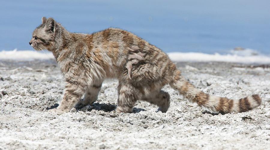 Андская кошка До 2003 года про андских кошек вообще никто не знал. Они обитают в самых далеких регионах гор и поймать их чрезвычайно сложно.