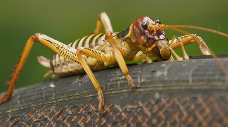 Уэта Гигантские нелетающие насекомые развились на территории Новой Зеландии: тут просто не было мелких млекопитающих и насекомые заняли их место. Конечно, кузнечики уэта совершенно не опасны, просто выглядят жутко.