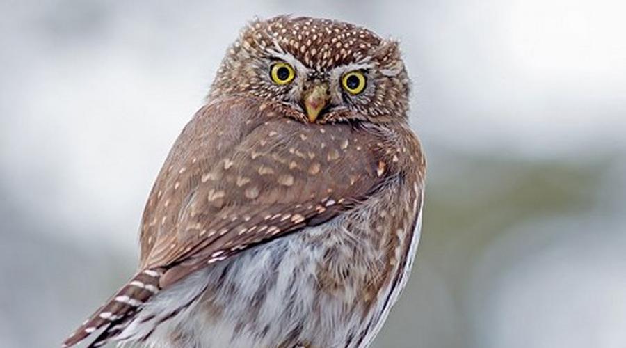 Северные пигмейские совы Эти птички — самый маленький вид сов. Взрослые особи вырастают всего 15 сантиметров длиной, хотя вполне способны охотиться на добычу большую, чем они сами.