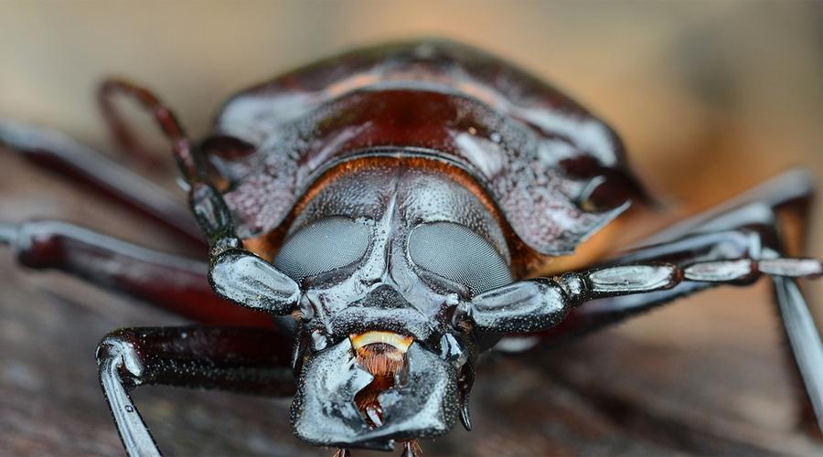 Дровосек-титан Самый крупный жук на всей Земле. Впрочем, с нашей ли он вообще планеты? Титаны вырастают в 220 мм длиной и обладают очень мощными челюстями. А всего интереснее то, что взрослые особи не едят вовсе, используя для жизни энергию, накопленную еще личинками. Видели ли ученые личинок? Ни разу.