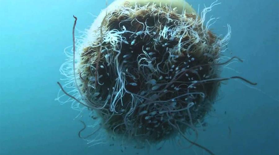 Немопилема номура Настоящее чудовище Японского моря. Диаметр Номуры — 2 метра, а вес 220 килограммов. С 2005 года медузы повадились зачем-то атаковать рыбаков, рискнувших выйти на промысел в утлых суденышках.