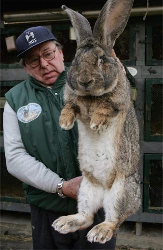 Фландр Это самая крупная порода кроликов, прозванная на родине бельгийским великаном. Фландры могут весить 25 килограмм и способны самостоятельно начистить морду любой лисице, которая будет иметь глупость сунуться в крольчатник.