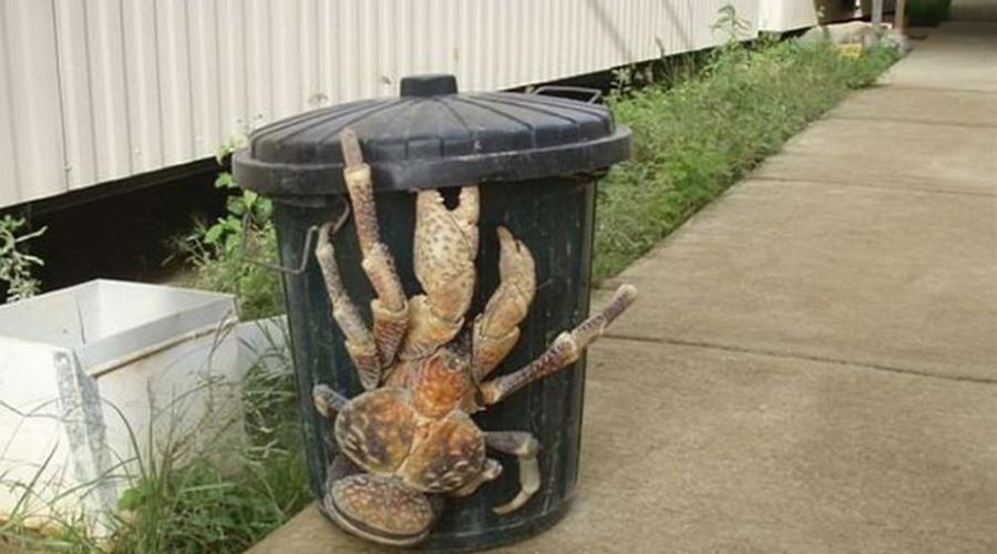 Пальмовый вор По счастью, встретить этого огромного ультракраба можно только в Австралии. Своими клешнями кокосовый рак способен дробить кости, он всеяден, но не настолько нагл, чтобы нападать на людей.