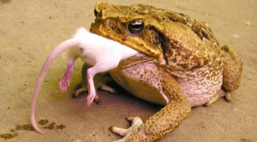 Ага Тростниковая жаба при сравнительно небольших размерах (ага вырастает до 25 сантиметров) весит целых полтора килограмма. Когда-то англичане решили завести жабу в Австралию, чтобы хоть как-то спастись от местных насекомых. Уже на месте выяснилось, что ага токсична и представляет серьезную угрозу для животных и маленьких детей.